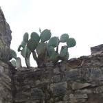 Cactus growning on old barn
