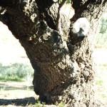 Old fruit tree