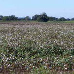 Short Cotton, Near Tuscola - Even Smaller