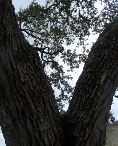 Goliad Oak