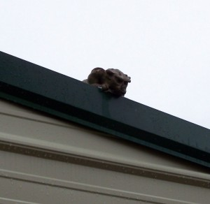The Gargoyle on the Shed Roof