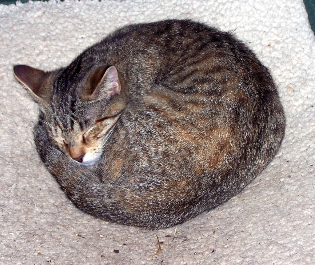 The Perfectly Circular Sleeping Kitten