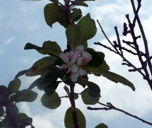 Apple Blossom - Early March