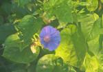 blue-flower-2