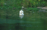 White ducks or geese, in the river shallows