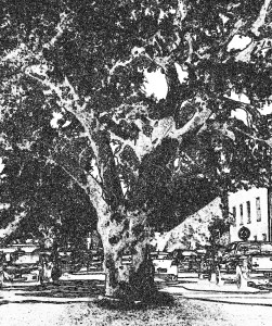 An oak tree in the middle of the street, downtown Luna City